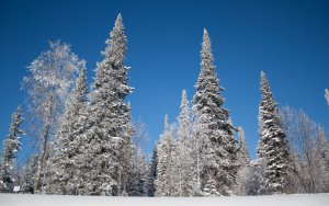 trees-snow-winter-branch-ice-frost-spruce-Christmas-Tree-fir-Freezing-tree-weather-plant-seaso...jpg